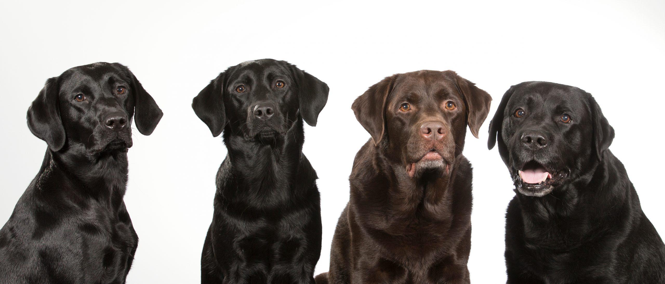 American Labrador Retriever vs. English Labrador Retriever