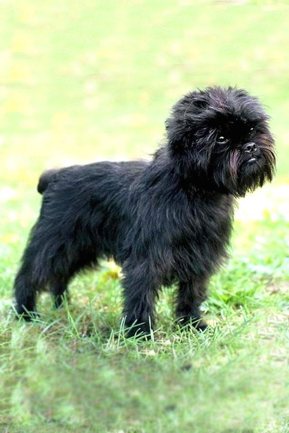 200+ Popular and Ideal Affenpinscher Dog Names 9