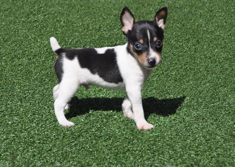 185+ Of The Most Popular Toy Fox Terrier Dog Names 7