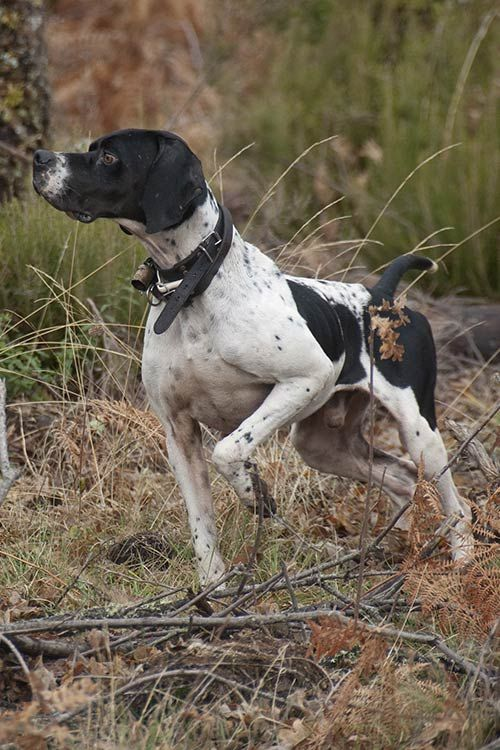 180+ Popular and Cool English Pointer Dog Names 8