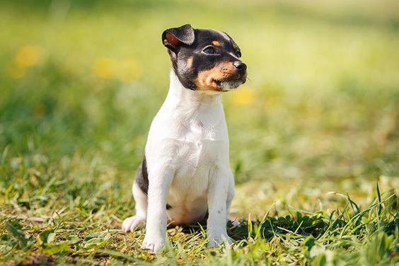 200+ Nice Fox Terrier Dog Names of 2020 8