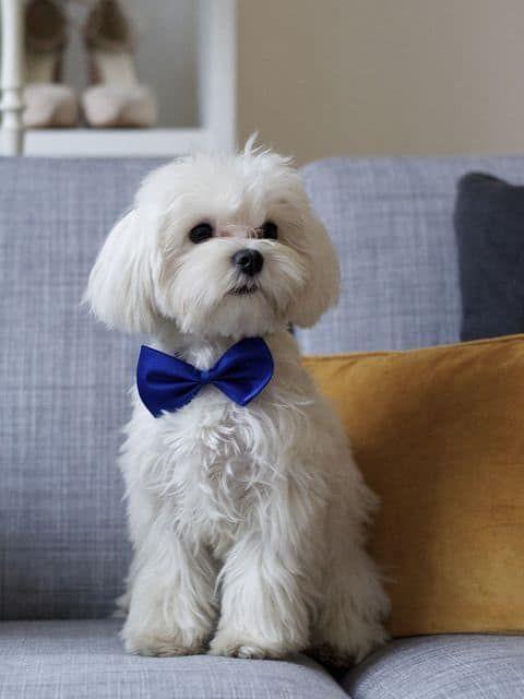 175+ Lovable Maltese Dog Names 2020 9