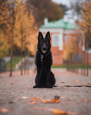 The 30 Most Popular Dog Breeds in America 62