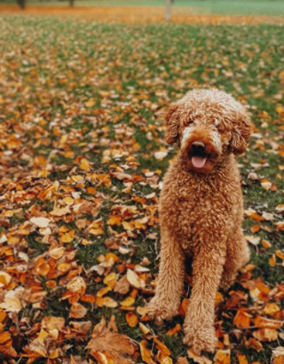 The 30 Most Popular Dog Breeds in America 67