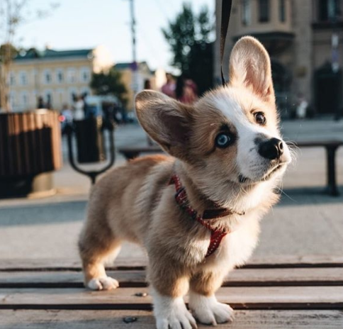 The 30 Most Popular Dog Breeds in America 75