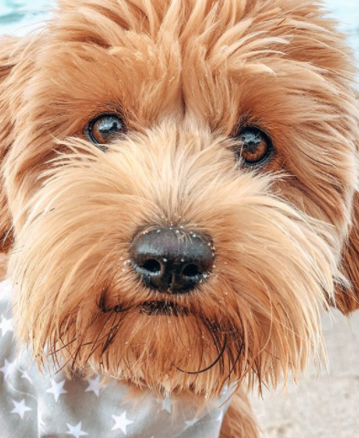 The 30 Most Popular Dog Breeds in America 83