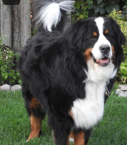 The 30 Most Popular Dog Breeds in America 85