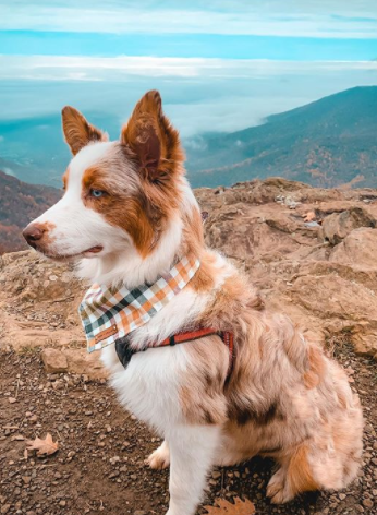The 30 Most Popular Dog Breeds in America 77