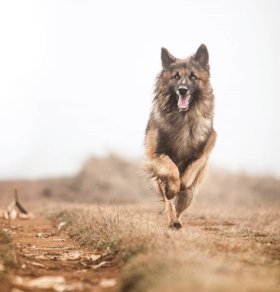 30 The Most Popular Dog Breeds in Brazil 83