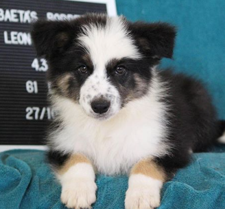 30 The Most Popular Dog Breeds in India 77