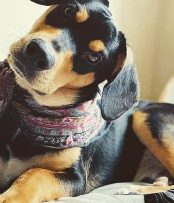 30 The Most Popular Dog Breeds in Nigeria 88