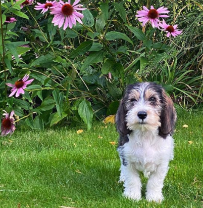 30 The Most Popular Dog Breeds in New Zeland 77