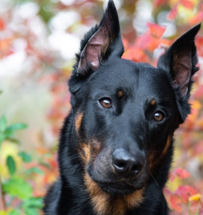 30 The Most Popular Dog Breeds in New Zeland 71