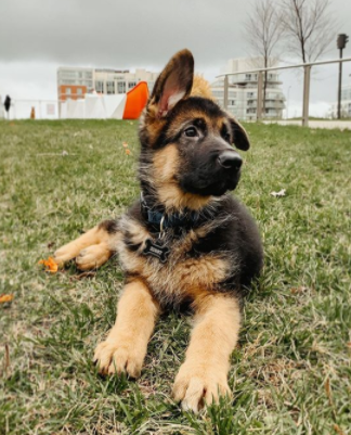 30 The Most Popular Dog Breeds in New Zeland 67
