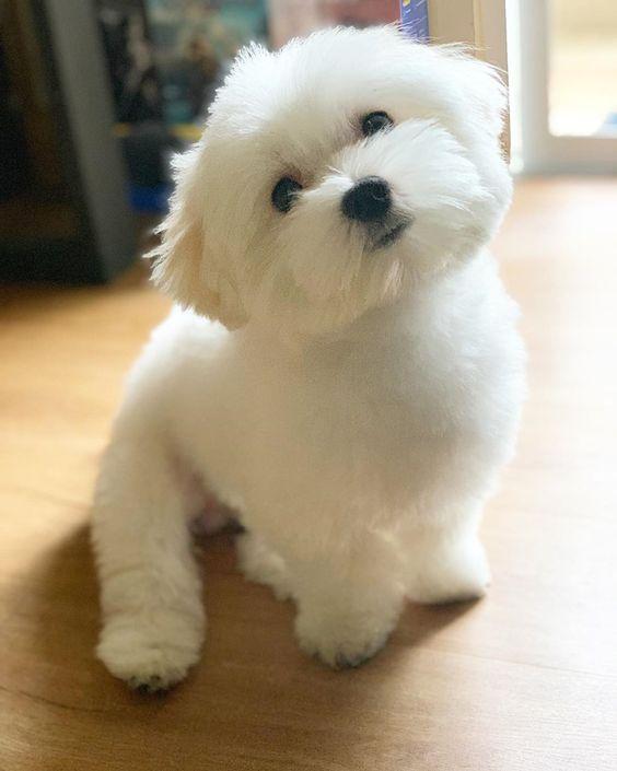 175+ Lovable Maltese Dog Names 2020 8