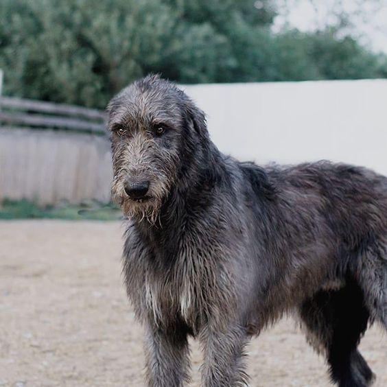 180+ Lovable Irish Wolfhound Dog Names 2020 8