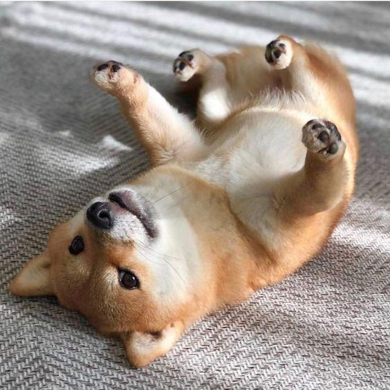 200+ Cool and Ideal Shiba Inu Dog Names 9