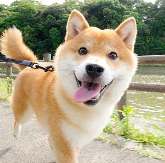 200+ Cool and Ideal Shiba Inu Dog Names 8