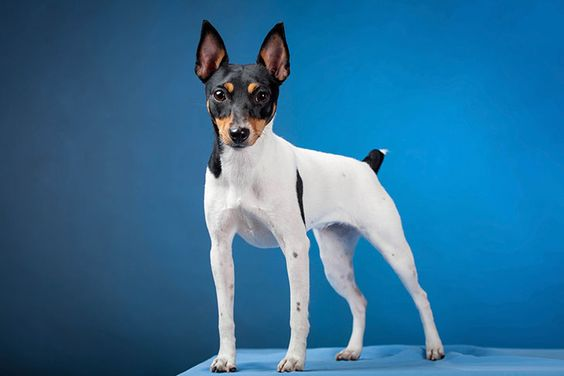 185+ Of The Most Popular Toy Fox Terrier Dog Names 9