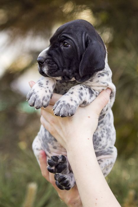 180+ Popular and Cool English Pointer Dog Names 7