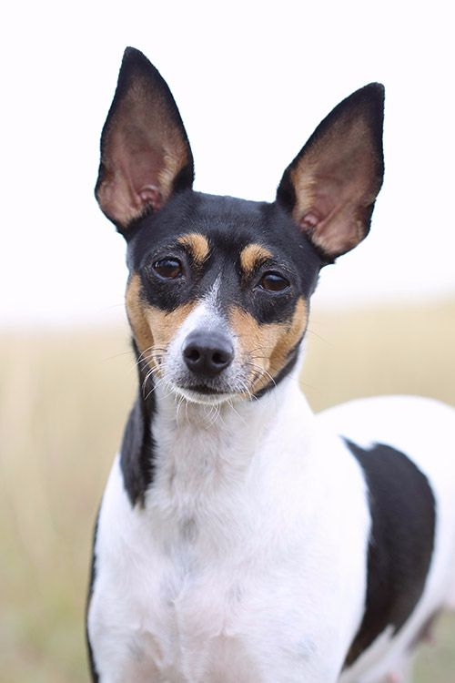 185+ Of The Most Popular Toy Fox Terrier Dog Names 8