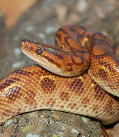 21 Friendly Pet Snakes For Rookies 45