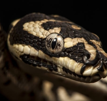 21 Friendly Pet Snakes For Rookies 50