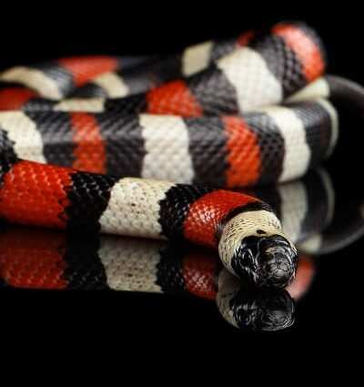 21 Friendly Pet Snakes For Rookies 52