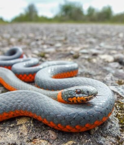 21 Friendly Pet Snakes For Rookies 53
