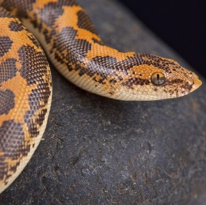 21 Friendly Pet Snakes For Rookies 54