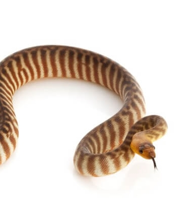 21 Friendly Pet Snakes For Rookies 57