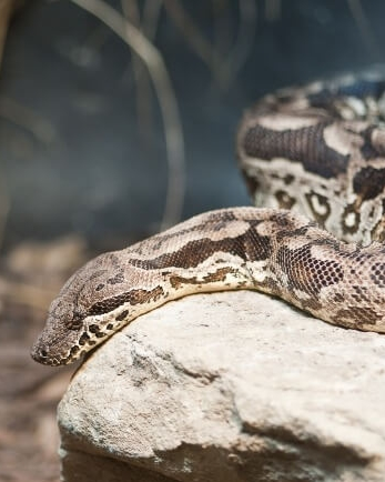 21 Friendly Pet Snakes For Rookies 59