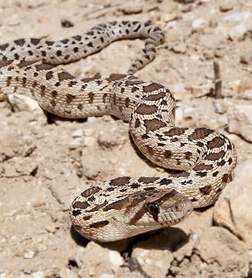 21 Friendly Pet Snakes For Rookies 60