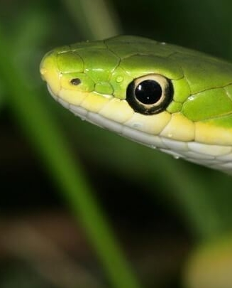 21 Friendly Pet Snakes For Rookies 61