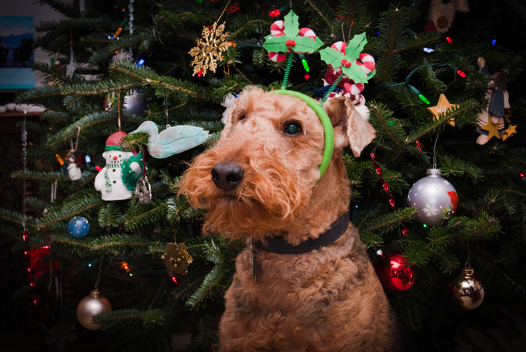 Airedale Terrier 24