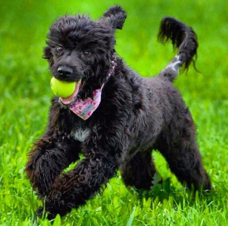 Portuguese Wasserhund or Portuguese Water Dog 27