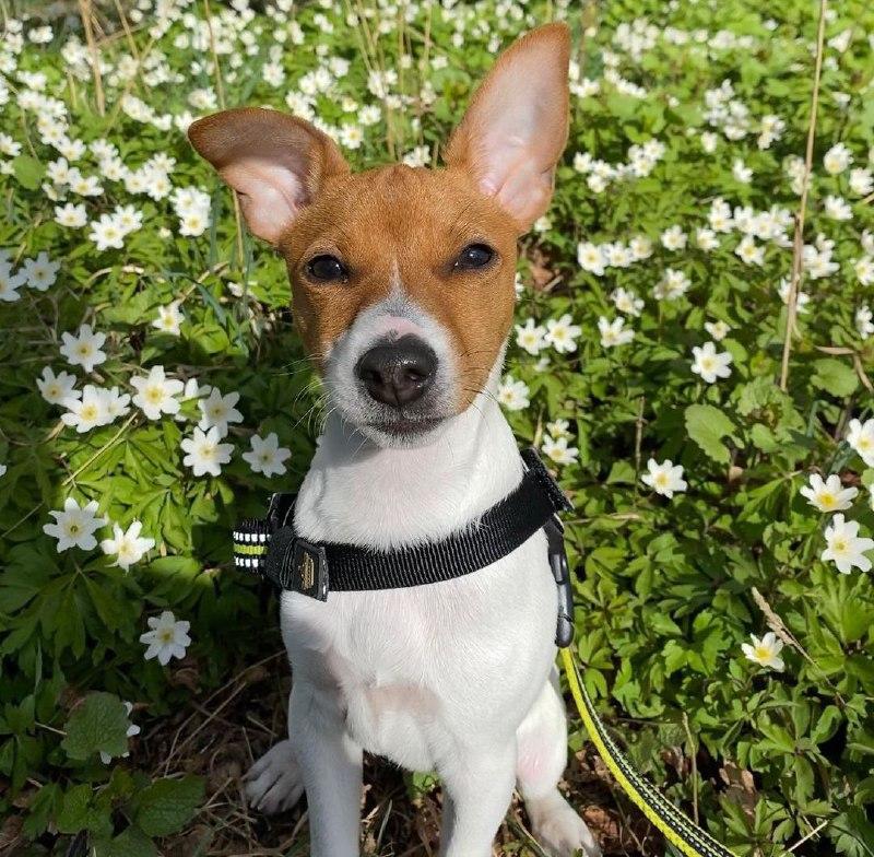 American Toy Fox Terrier 29