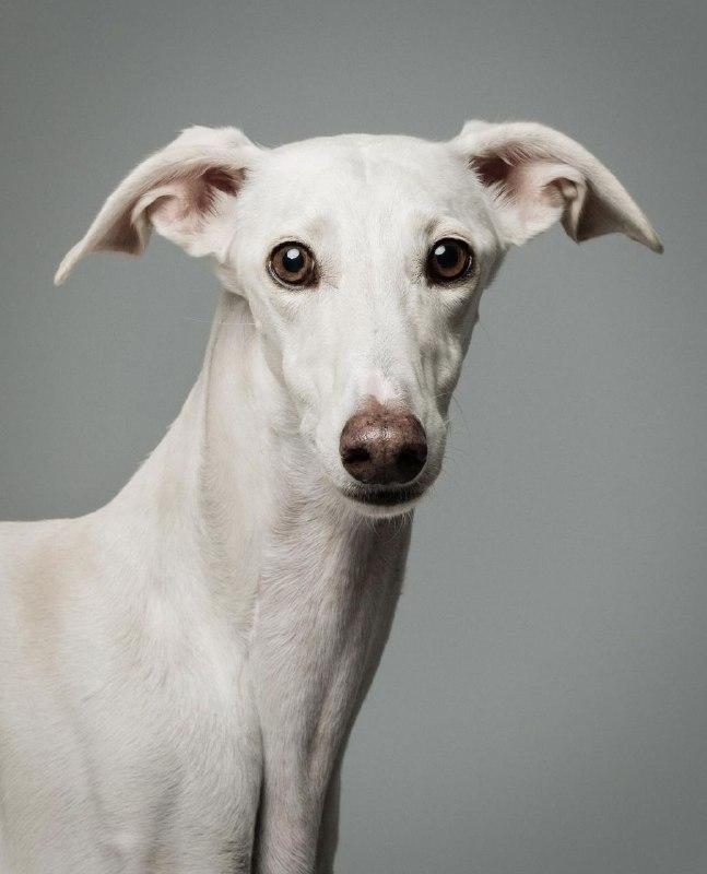 Greyhounds 36