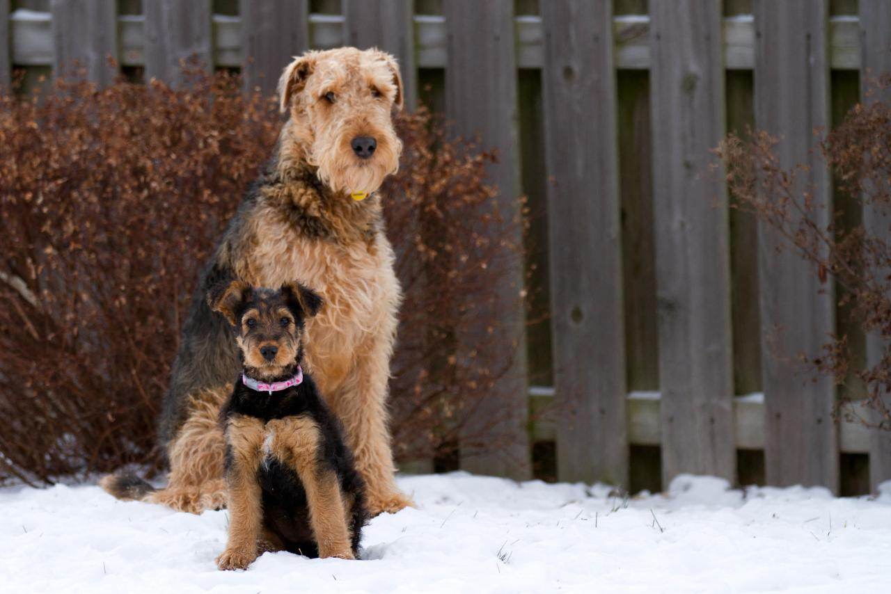 Airedale Terrier 33