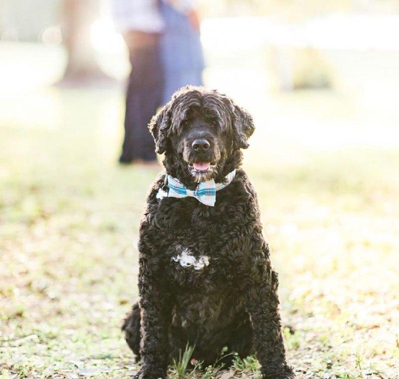 Portuguese Wasserhund or Portuguese Water Dog 37