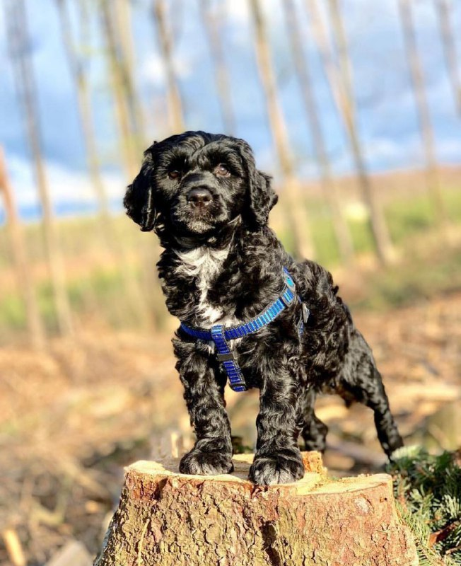 Portuguese Wasserhund or Portuguese Water Dog 38