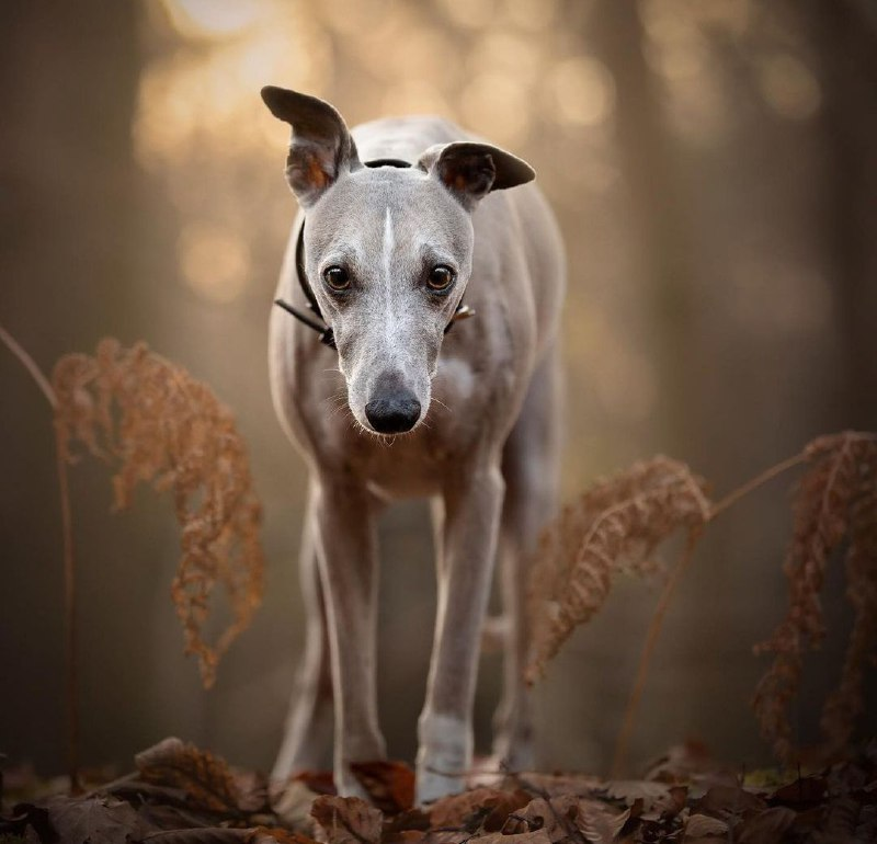Greyhounds 27