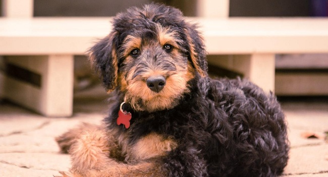 Airedale Terrier 25