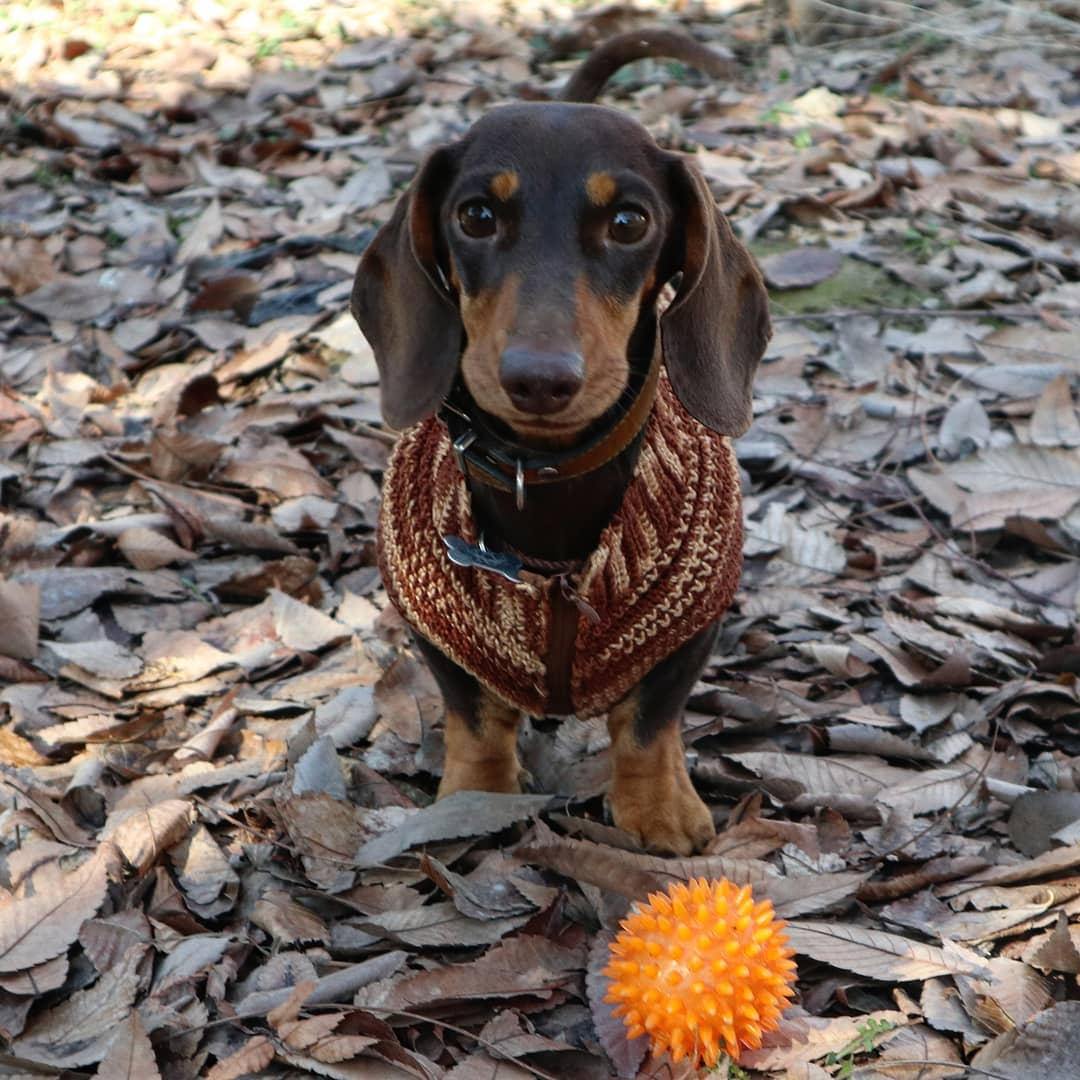 15 Amazing Facts About Dachshunds You Probably Never Knew 7
