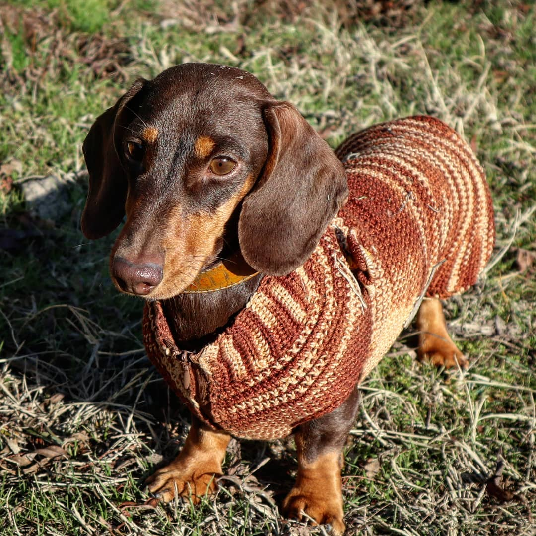 15 Amazing Facts About Dachshunds You Probably Never Knew 8