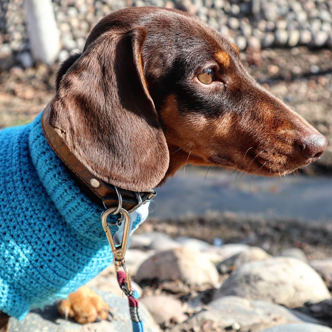 15 Amazing Facts About Dachshunds You Probably Never Knew 9