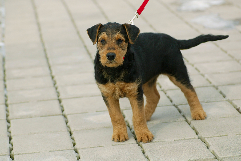 Airedale Terrier 32