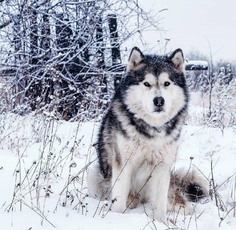 Alaskan Malamute 26