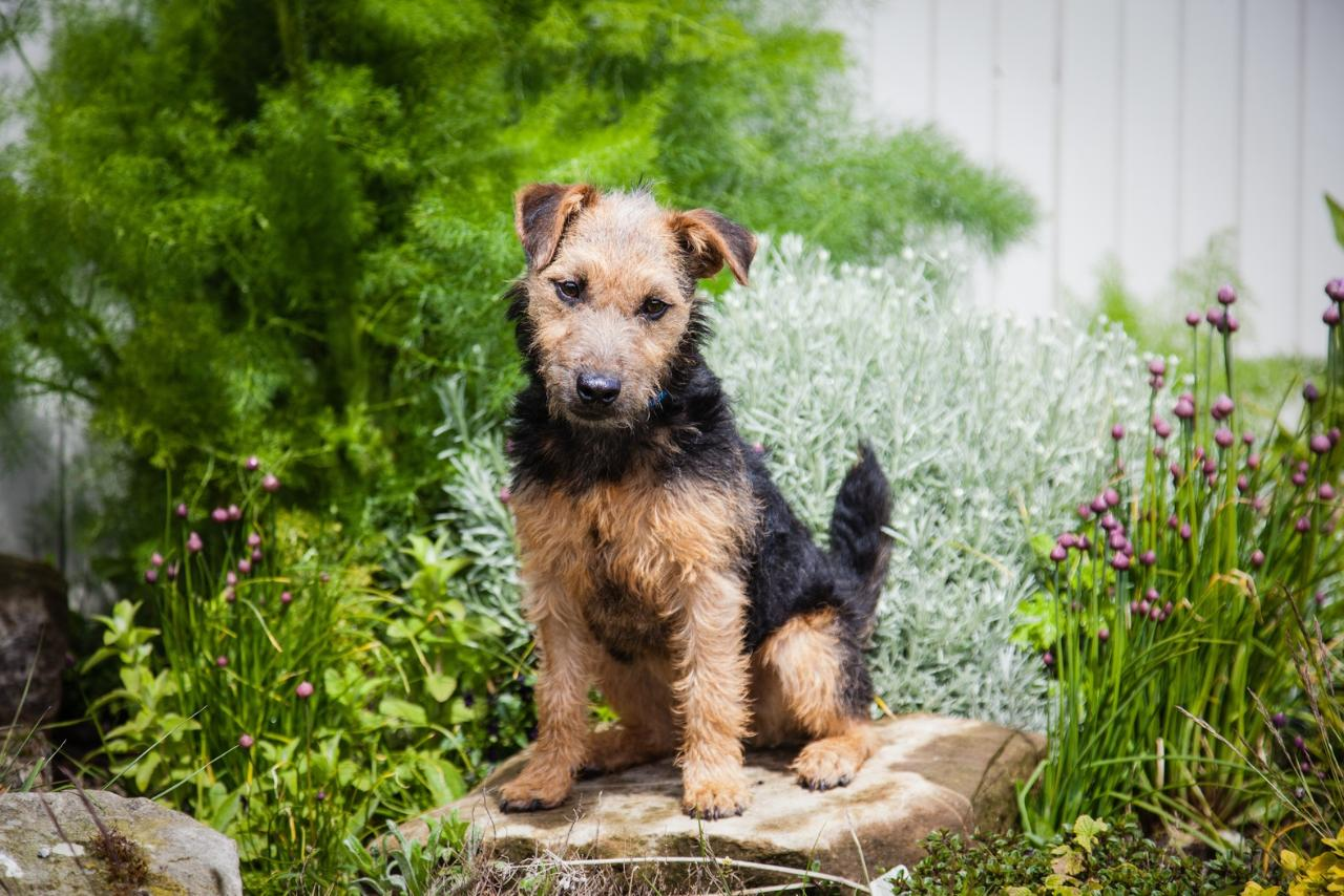 Airedale Terrier 31