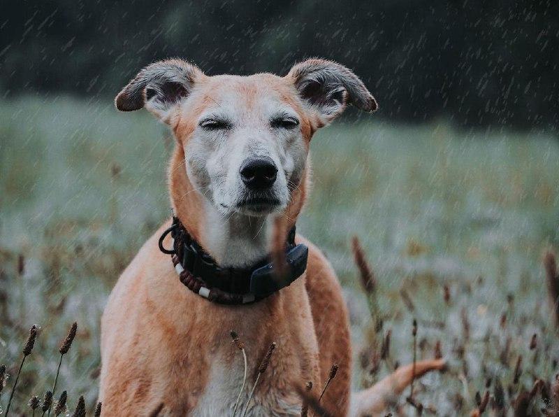 Greyhounds 30